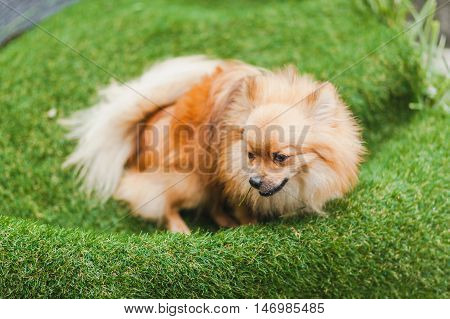 Cute little puppy playing in green grass