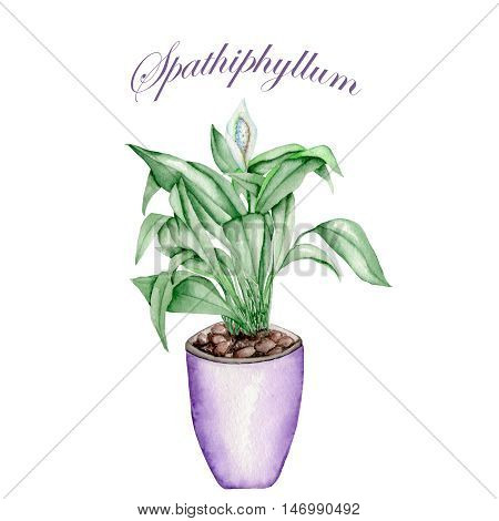 Spathiphyllum in a purple pot painted in watercolor on a white background