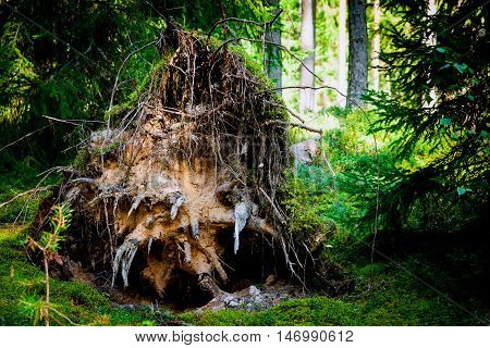 large tree roots twisted by the wind in the forest, hill of sand and green, grass and moss on a background of dark green shades of conifers