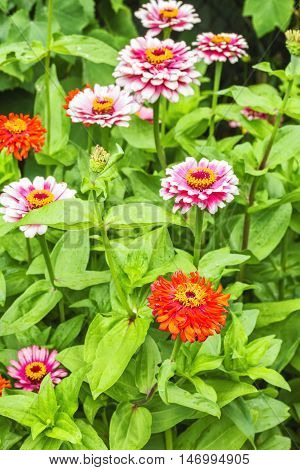 Blooming red and pink zinnias in the flowerbed in the garden in a summer day. Selective focus