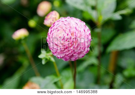 one great and beutiful dahlia Pompon white and pink