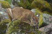 picture of mountain lion  - Mountain Lion on moss covered rocks during spring time - JPG