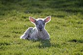 pic of suffolk sheep  - Lambing time - new born lambs out in the feilds
