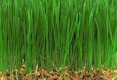 stock photo of catnip  - A close up of green grass and fertile seeds - JPG