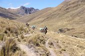 foto of workhorses  - Mule train carrying loads along broad glacial valley Cordillera Huayhuash Andes Peru South America - JPG