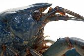 image of craw  - close up of a blue craw fish - JPG
