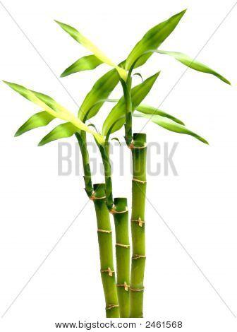 Bamboo W