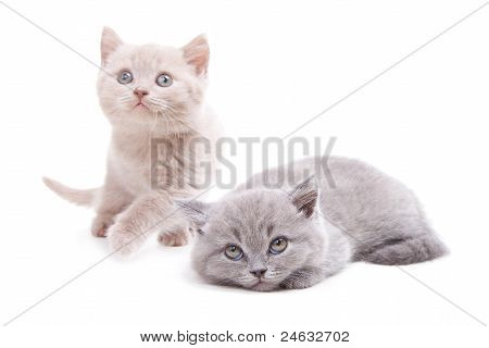Two Cute British Kittens