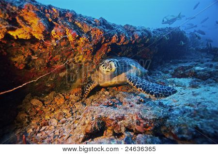 Turtle asleep on shipwreck