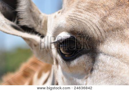 Closeup Of Giraffe Eye