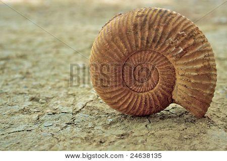 Concha de caracol antiguo