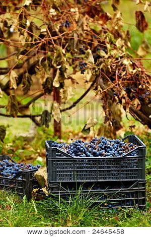 Harvested Grapes In Cases