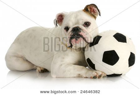 playful puppy - english bulldog playing with soccer ball with reflection on white background