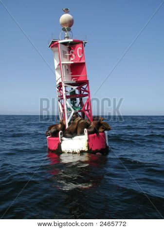 Seals Sleeping On A Montereay Bay Buoy