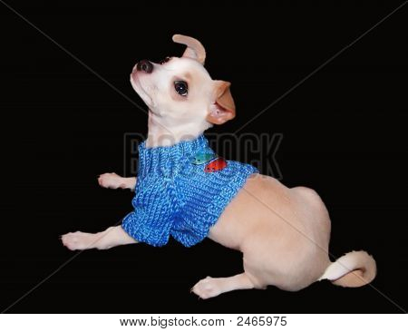 Chihuahua Is A Sweater