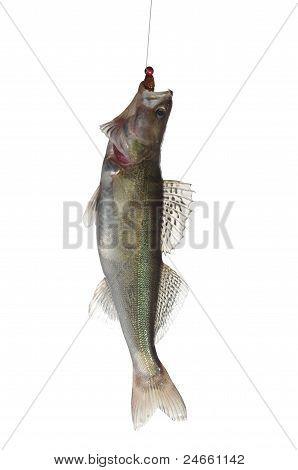 Fish Zander