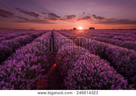 Lavender Fields Beautiful Image Of