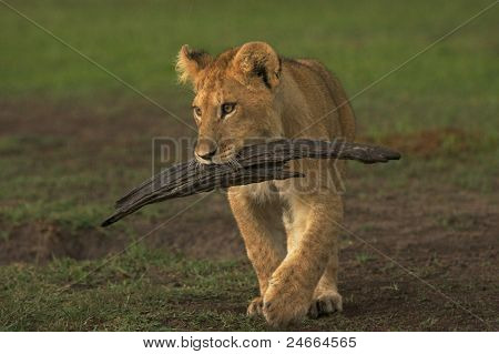 Lion cub carrying tree splinter