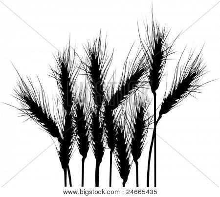 illustration with wheat silhouettes isolated on white background