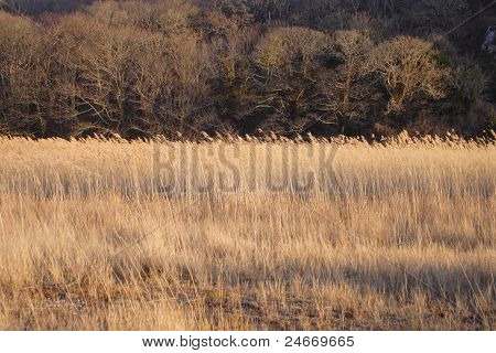 Reed beds and oak trees