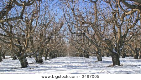 Winter In The Orchard