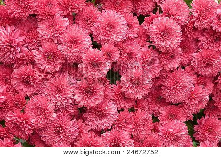 close-up red mums