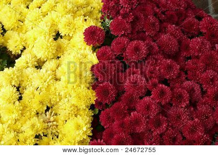 Close-up Mums Flowers