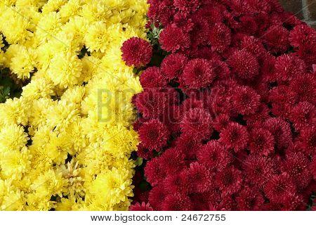 Close-up Mums Flowers