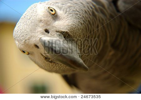 African Gray parrot