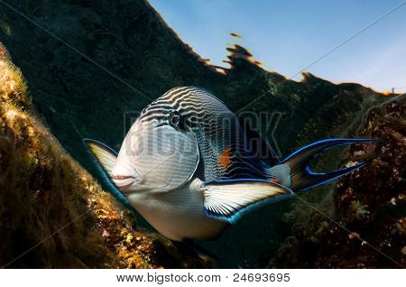 Surgeon Fish (Acanthurus sohal)