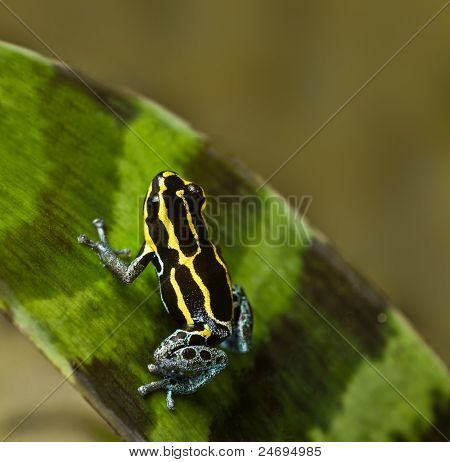 poisonous animal poison frog with bright yellow and black lines beautiful amphibian of amazon rain forest