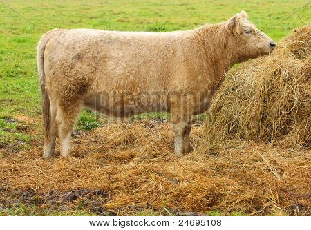 Galloway cattle. The Galloway is one of the world's longest established breeds of beef cattle, named after the Galloway region of Scotland, where it originated.