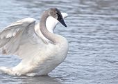 pic of trumpeter swan  - Young Trumpeter Swan stretching wings while in the water - JPG