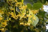 Blossoming Linden Tree. Linden Tree In Blossom. Nature Background. poster