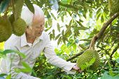 Asian farm people checking on durian tree in orchard. poster