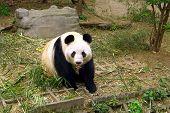 Постер, плакат: Панда готовы наброситься