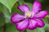 Close-up Of Big Beautiful Bright Purple Fully Blooming Flower Lit By Sun On Blurred Green Summer Bac poster