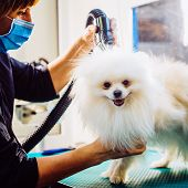Pomeranian Dog On The Table For Grooming In Salon For Dogs. Toned Image. The Concept Of Popularizing poster