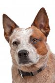 stock photo of cattle dog  - Australian Cattle Dog in front of a white background - JPG