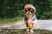 Funny Chihuahua Dog Posing In A Raincoat By A Puddle Outdoors poster