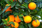 image of orange-tree  - Green leaves and mature oranges on the tree - JPG