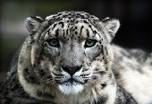 image of snow-leopard  - a beautiful snow leopard looks sad and mad - JPG