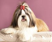 picture of dog breed shih-tzu  - dog breeds shih tzu - JPG