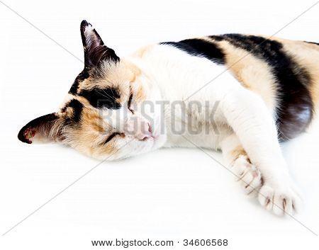 Old Cat Sleep On White Background