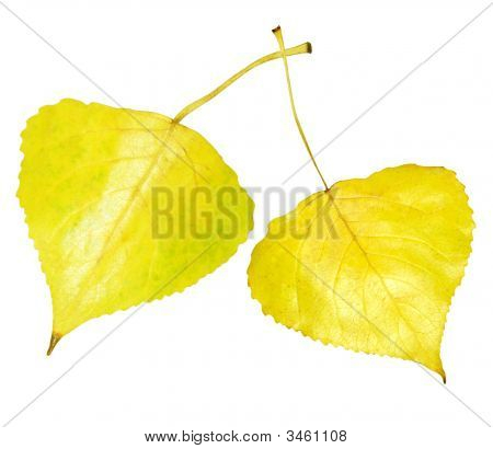Golden Aspen Leaf