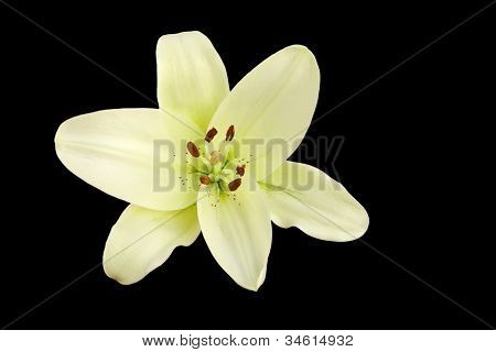 Beautiful Madonna lily on black photographed from top