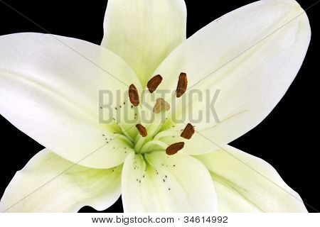 Exposed pollens in a beautiful Madonna lily on black