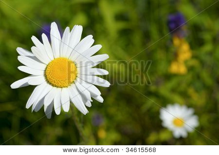 Chamomile On Green Field