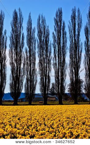 Yellow Daffodils Flowers Cypress Trees Skagit Valley Washington State