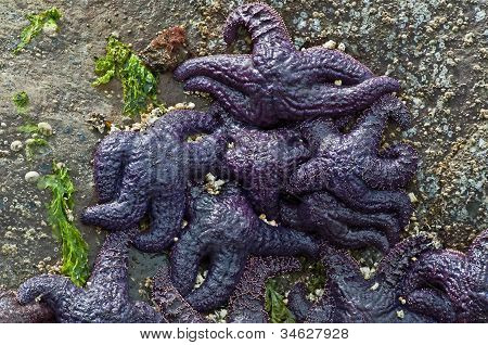Many Several Purple Starfish